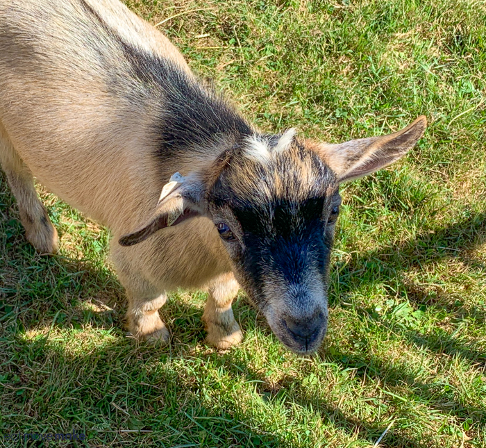 A small brown goat standing on grass