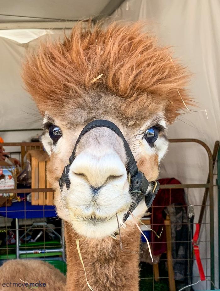 A close up of a llama