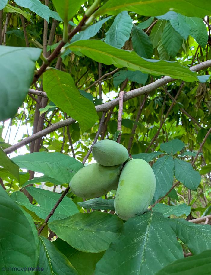 A papaya tree with green leaves