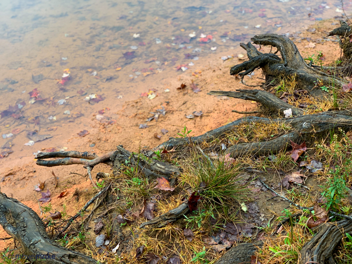shoreline of lake with tree roots