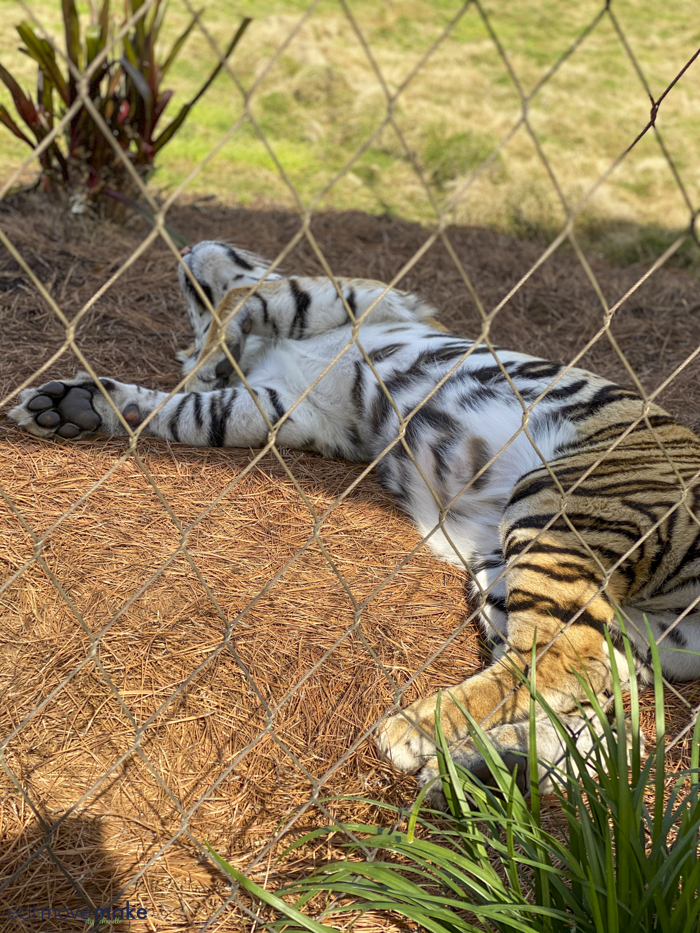 Mike the LSU tiger sleeping