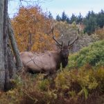 bull elk looking at camera