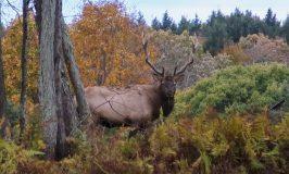 bull elk looking at camera