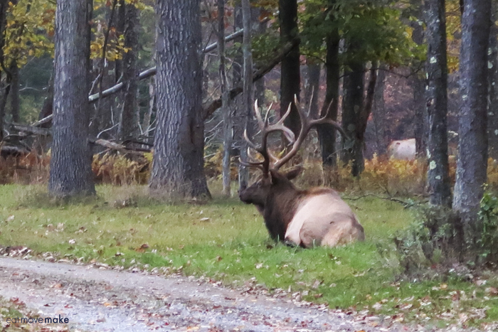 bull elk sitting down next to path