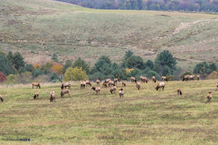 large herd of elk in field