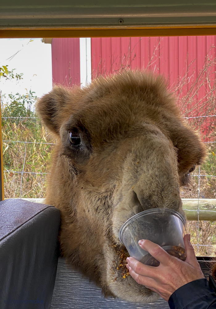 camel being fed