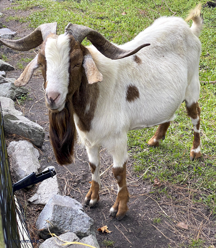 goat at Mike's farm