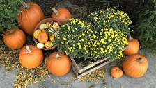 mums-and-pumpkins