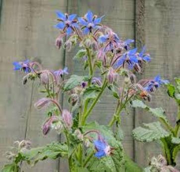 Borage Aromatic Pest Repelling Plant