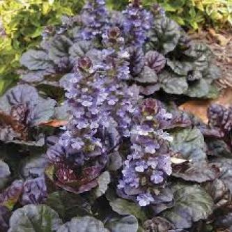 Bugleweed ground cover plants