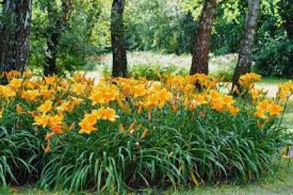 Daylily for ground cover plants