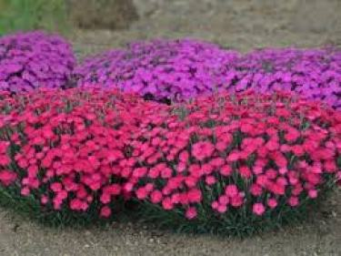 Dianthus ground cover plants