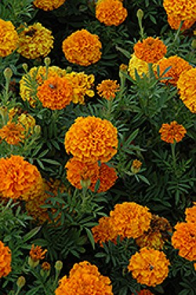 Marigold Aromatic Pest Repelling Plant