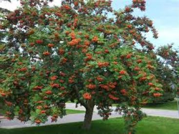 Mountain Ash Drought tolerant plant