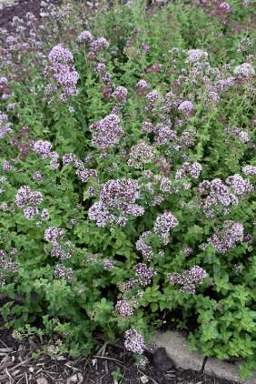 oregano ground cover plants
