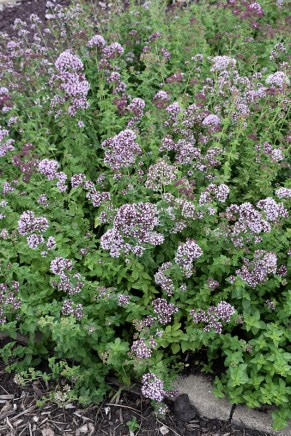 Oregano Aromatic Pest Repelling Plant