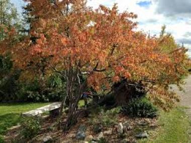 Pin cherry drought tolerant plant