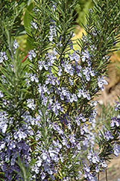 Rosemary insecticidal plants