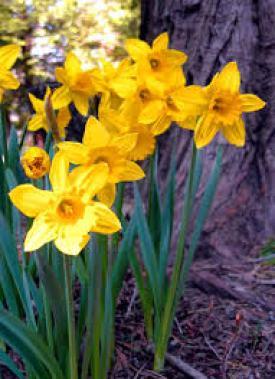 daffodil insecticidal plants