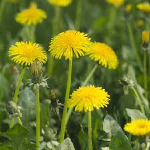 dandelions indicator plants