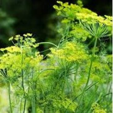 Dill insecticidal plants