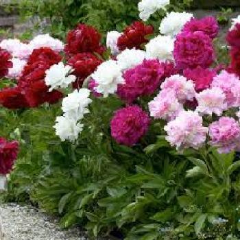 peony drought tolerant plants