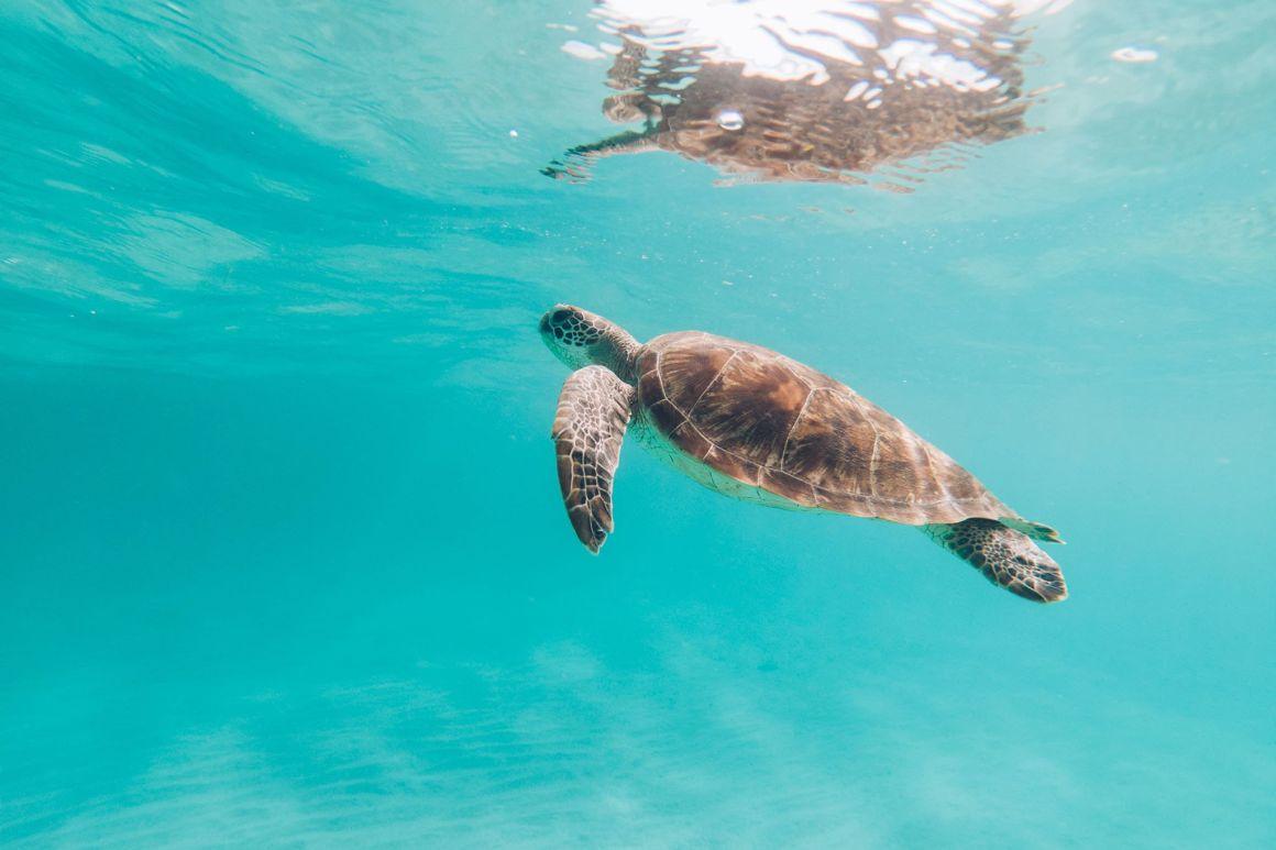 Tortue qui nage à Mayotte par les Best Jobers