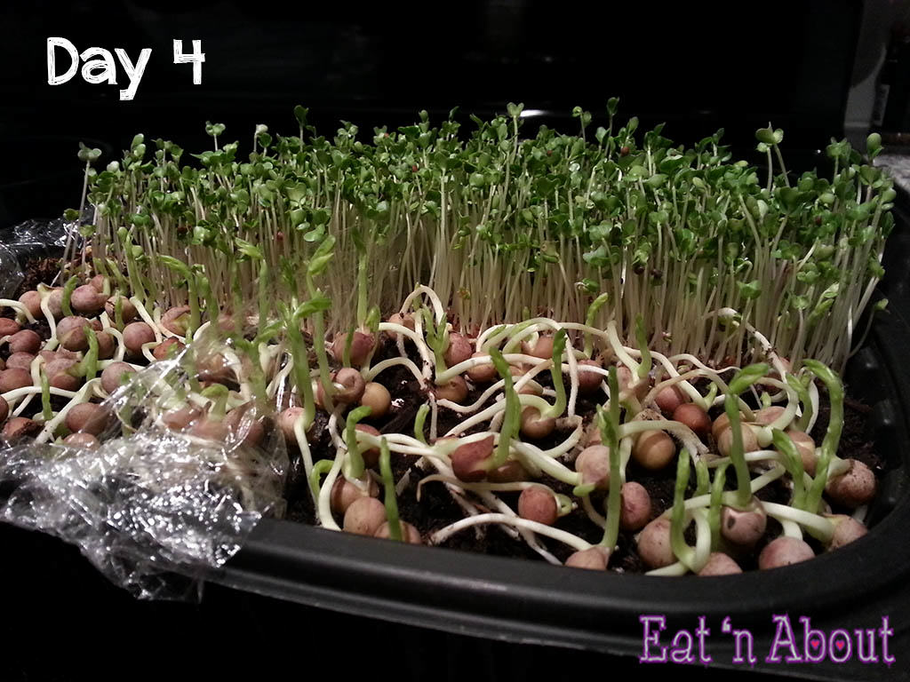 Seed sprouting day 4