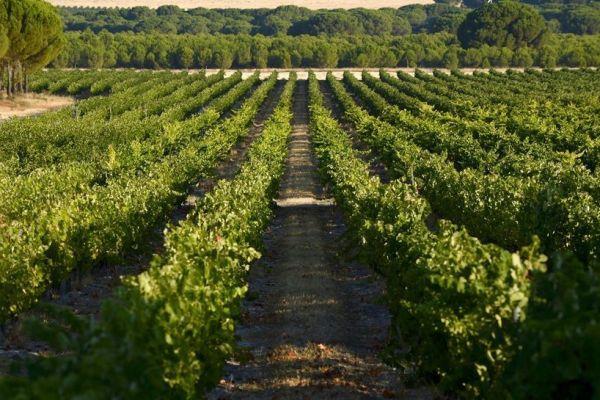 ribera del duero vineyards