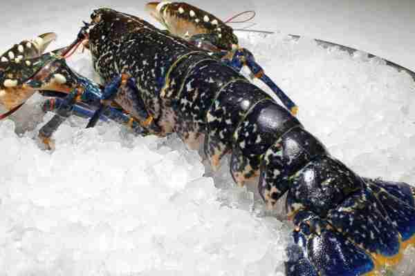 bogavante blue lobster cantabrian sea