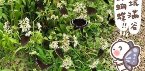 。苗栗 三義。卓也小屋:隱身在森林中的小鎮與賞蝶秘境,還可以住宿+藍染DIY,可以一次看完一年份的蝴蝶XD