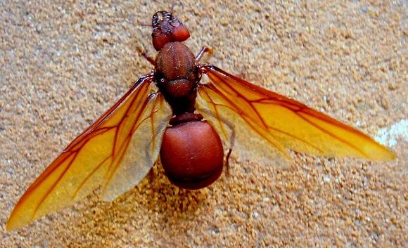 Flying Ants Edible Wwwgenialfotocom