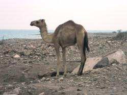 Camello. Foto: entreColyCol