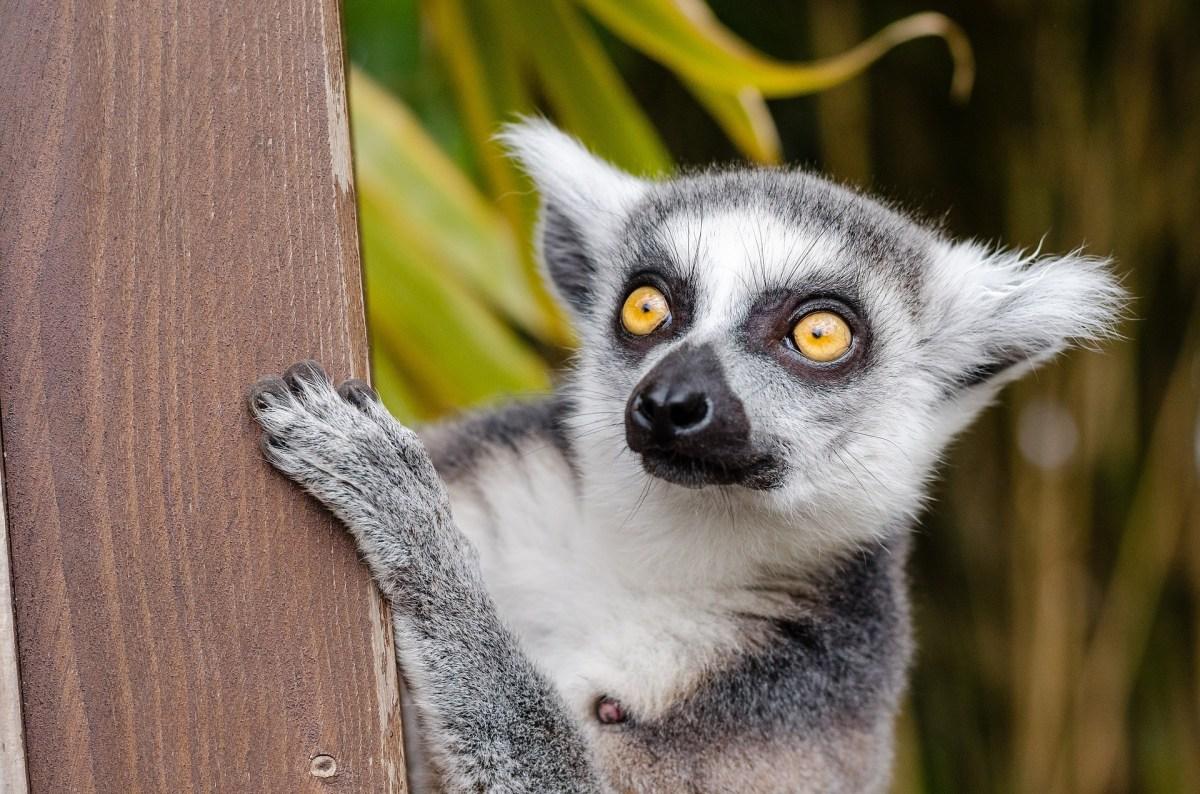 Lemur in Madagascar, Africa