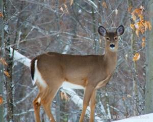 Perth Deer