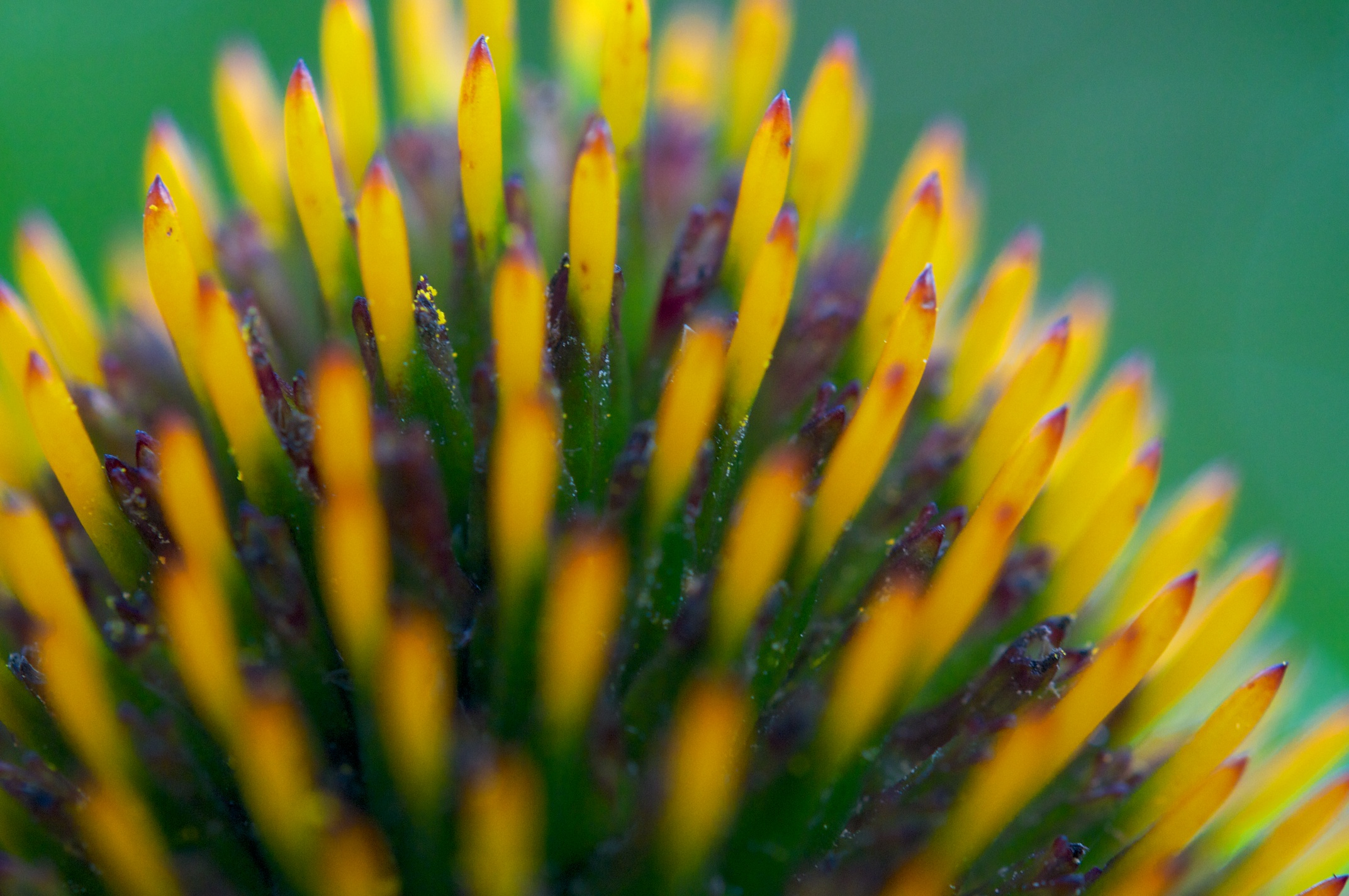 Yellow_ echinacea1