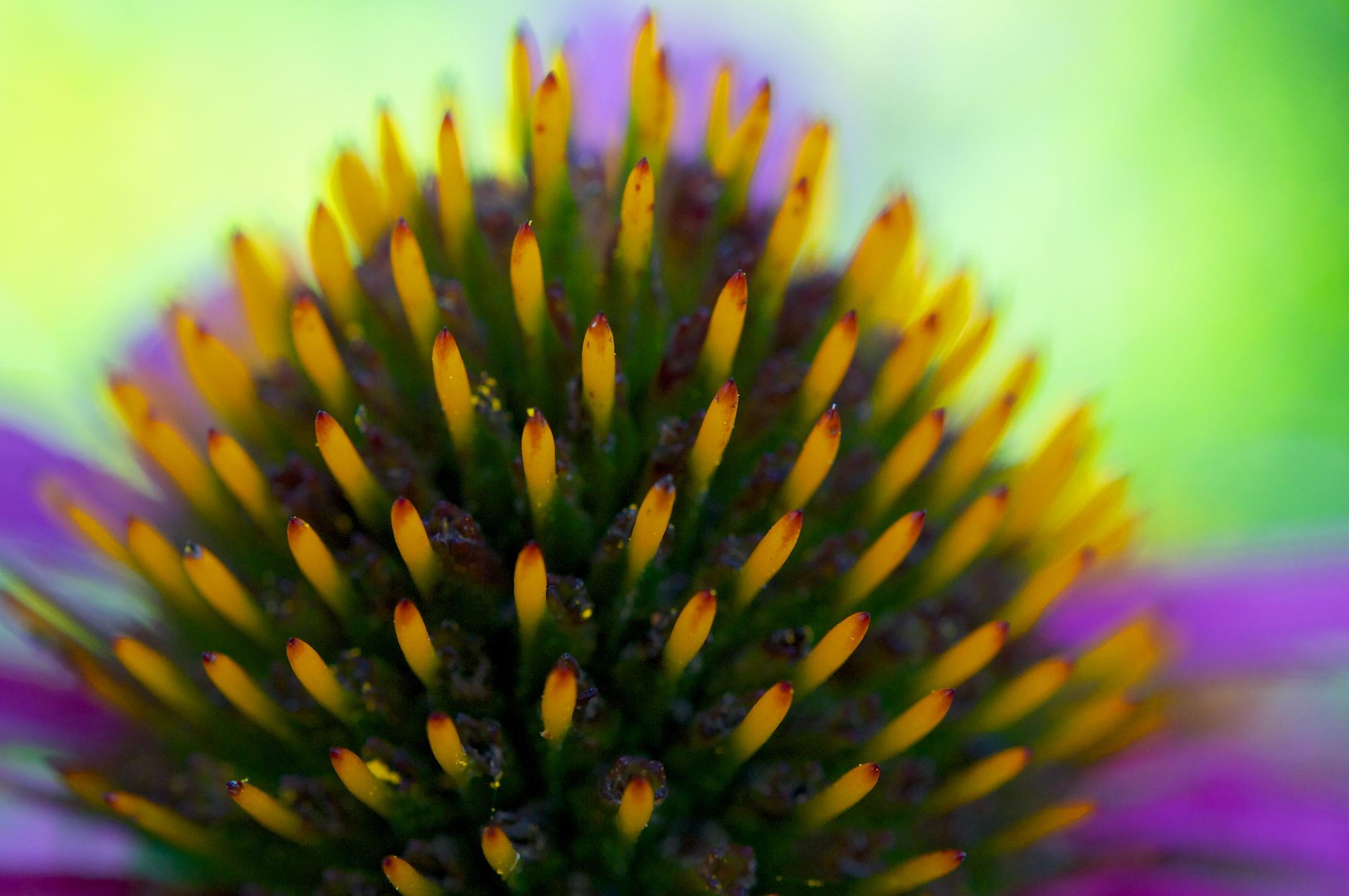 Yellow_ echinacea3