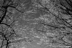 Frozen Trees (BW) 1