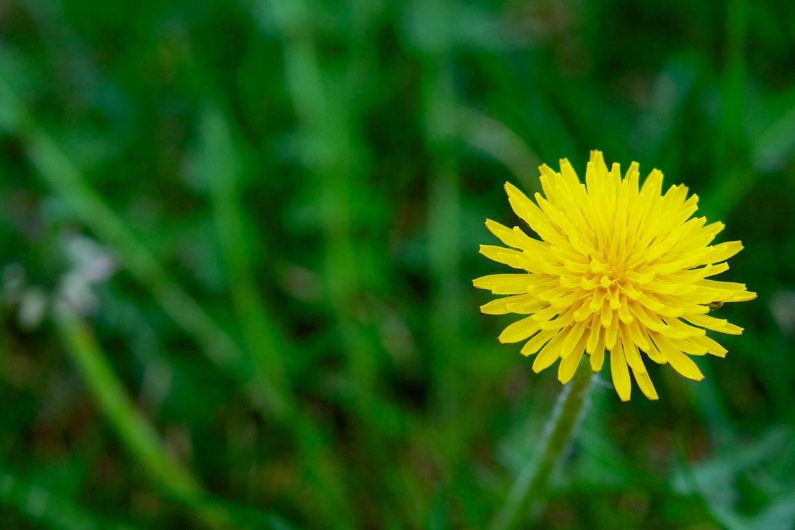 Force of Nature (dandelion)1