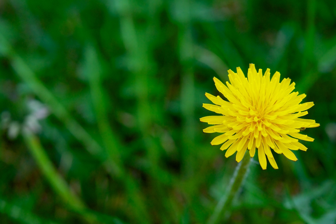 Force of Nature (dandelion)1