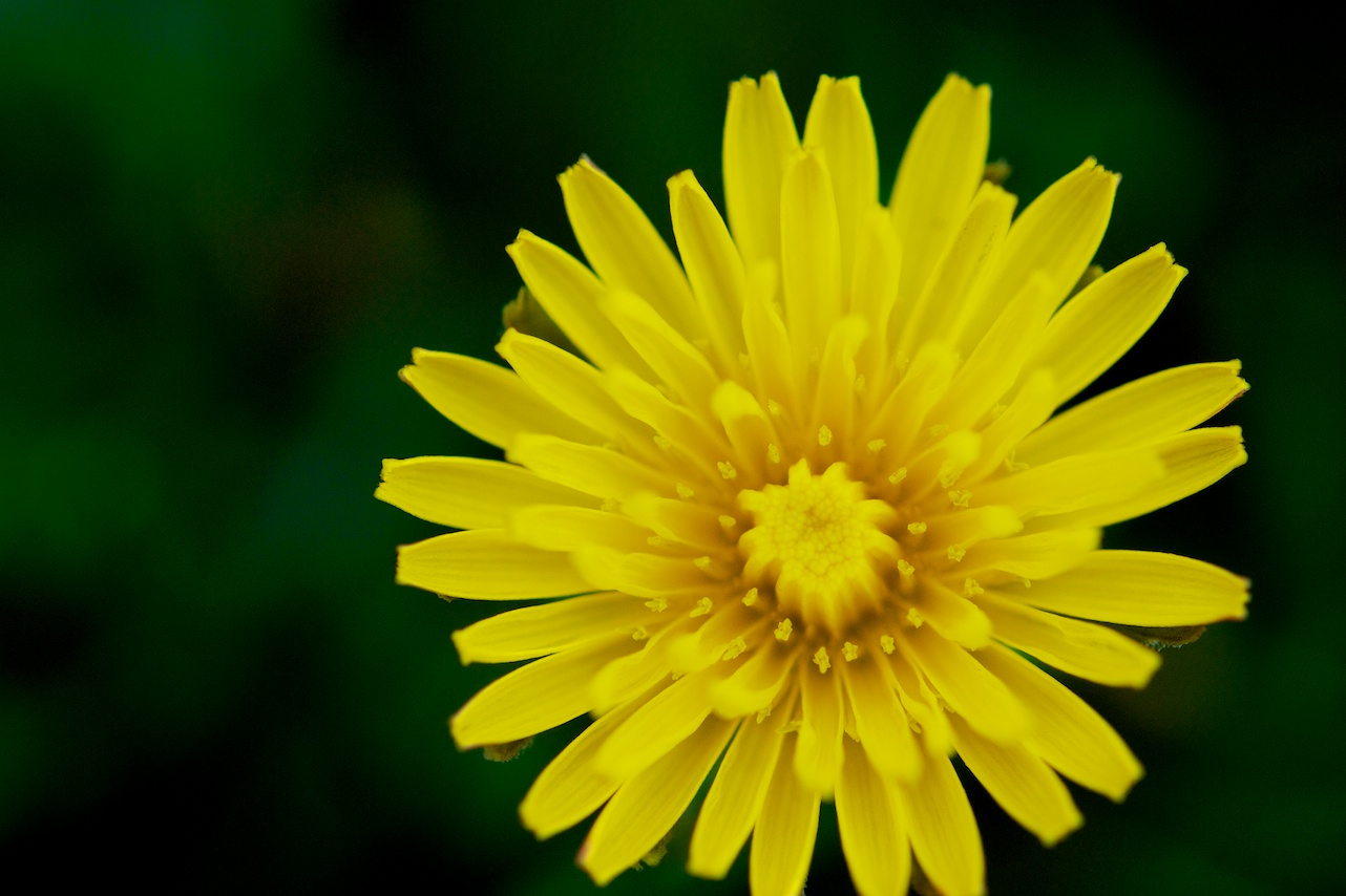 Force of Nature (dandelion)10