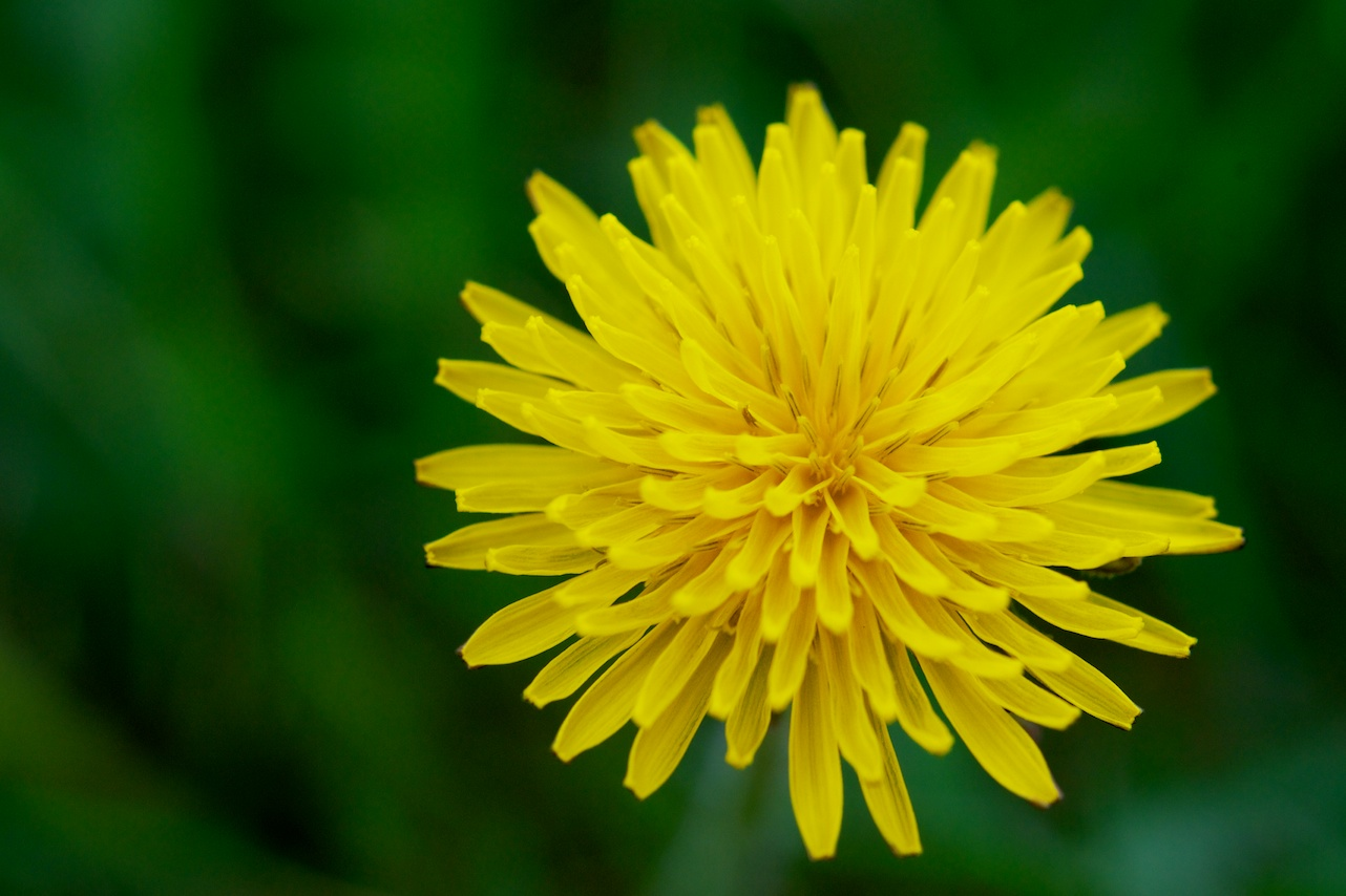 Force of Nature (dandelion)3