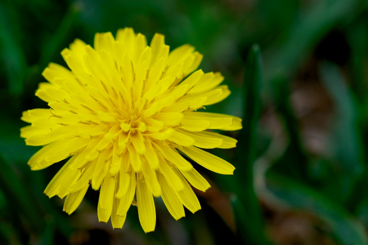 Force of Nature (dandelion)5