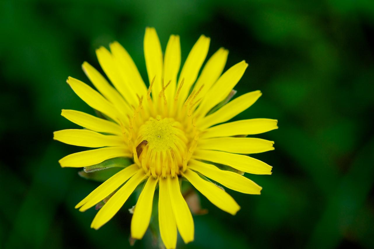 Force of Nature (dandelion)8