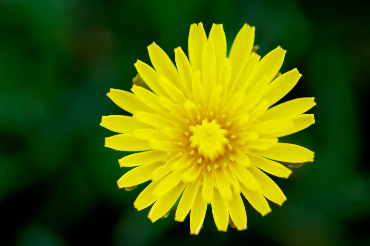 Force of Nature (dandelion)9