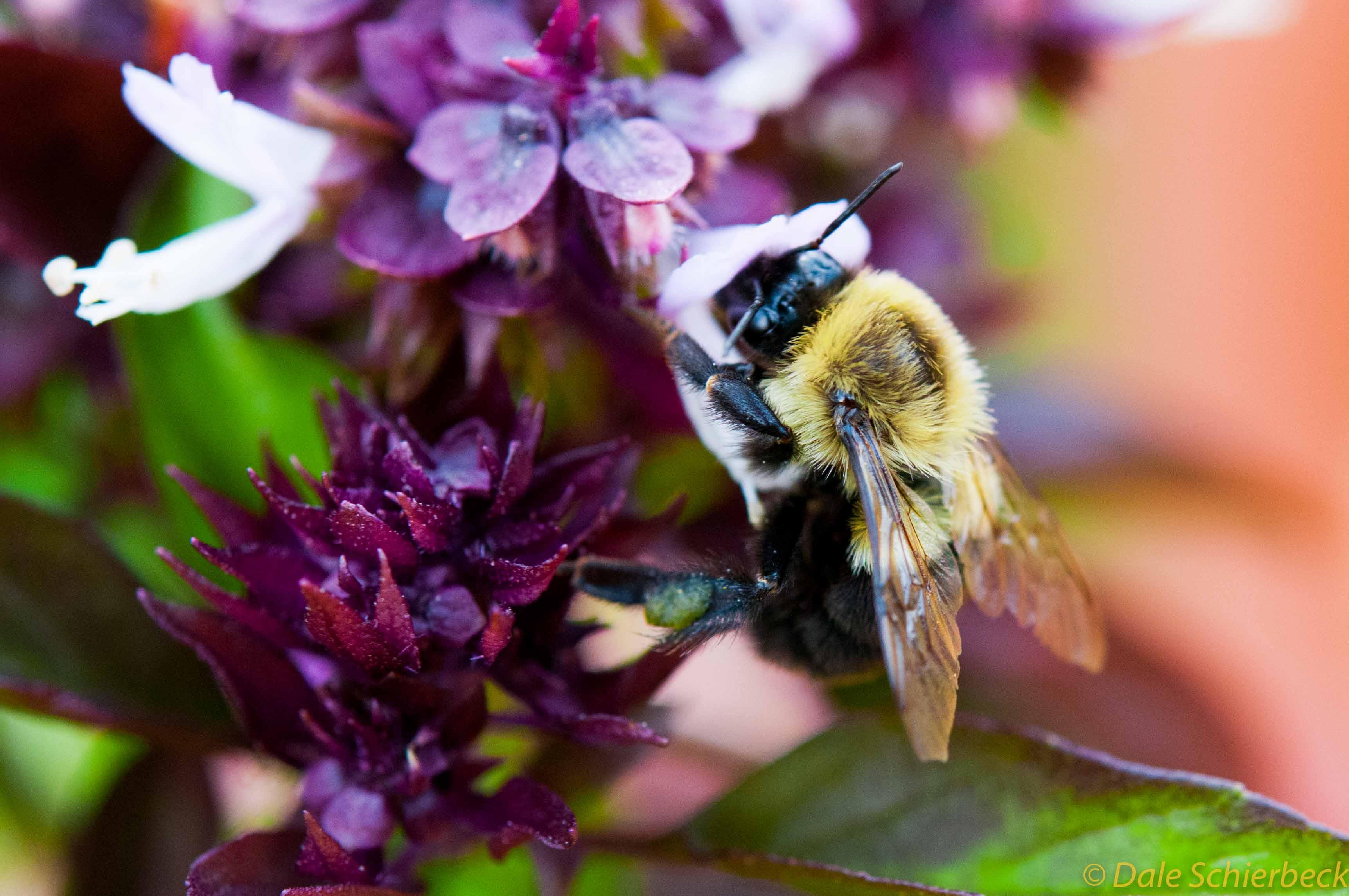 Bumblebee in Basil