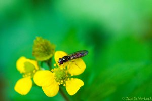 Wasp on Buttercup