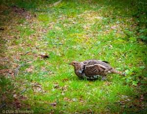 Grouse on a Path