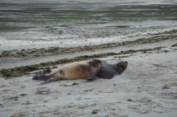 Sunbathing seal in Dunedin, NZ