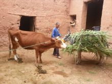 Donkey bringing food to cow in house beside Benhaddoun